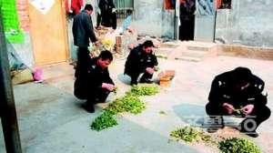 山东女子种罂粟苗当菜吃被刑拘 只因听信其可以保健