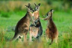 澳将消灭百万袋鼠 死去的袋鼠不会被浪费尸体做成狗粮