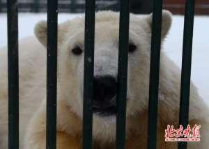 北极熊出逃被射杀 网友:有没有两全其美的办法比如用麻药枪?