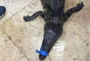 男孩捡到一米多长鳄鱼 网友-我只想说初生牛犊不怕虎
