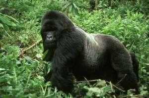 枪杀猩猩切块食用 3名工人当场枪杀保护动物并食用