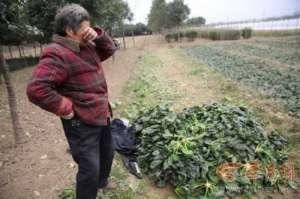 100公斤菠菜26?成本难收回 菜农多将菠菜撂至荒地