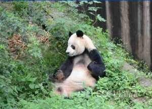 """成都大熊猫去世 """"科比""""和前国际奥委会主席萨马兰奇有何渊源?"""