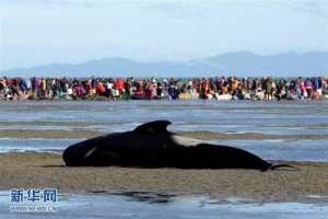 新西兰座头鲸搁浅 揭秘世界上第一个记录鲸鱼搁浅现象的人